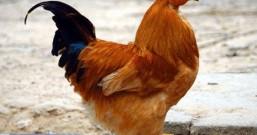 白切鸡要做得好, 婆婆没少做一步, 怪不得吃起来皮脆肉嫩